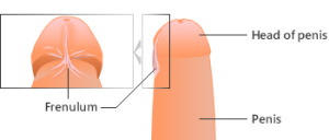 frenulum